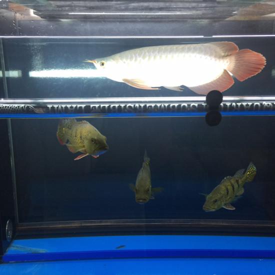 巴西亚 吃的太多了 不想养了 太原龙鱼论坛 太原龙鱼第2张