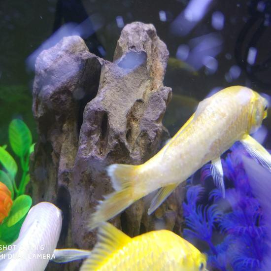 太原观赏鱼批发市场给鱼缸换水,锦鲤跳缸晒干,尾巴都断了,放水里竟然又活了!只是入 太原观赏鱼 太原龙鱼第3张