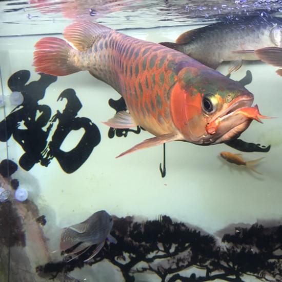有多饿,舍不得吃[daku] 太原观赏鱼 太原龙鱼第2张