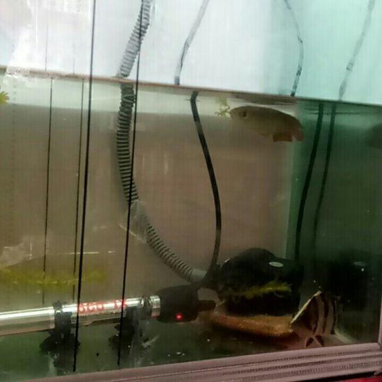 15公分小金龙才开口,一天就吃一根面包虫。还不积极。有什么办法么? 太原观赏鱼
