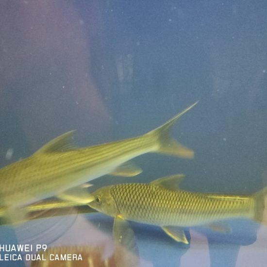 原生鱼,瓣结鱼出售,可搭配大型鱼养,体验原生之美。需要的朋友私聊我。 成都龙鱼论坛 成都龙鱼第5张