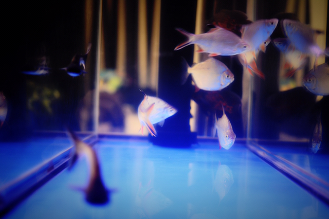 泰国鲫,红腹银板,蓝鲨。