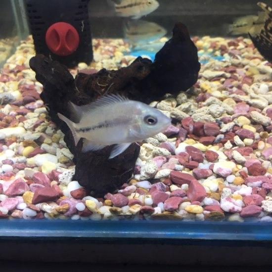 泰国红马苗2-3厘米,,后面为鱼友回馈图 成都龙鱼论坛 成都龙鱼第2张