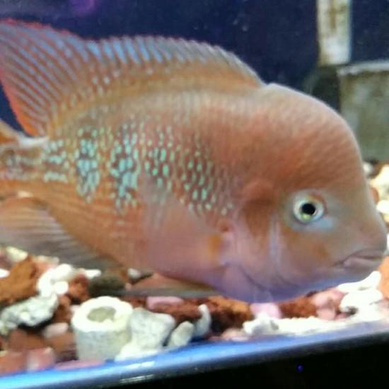 泰国红马苗2-3厘米,,后面为鱼友回馈图 成都龙鱼论坛 成都龙鱼第6张
