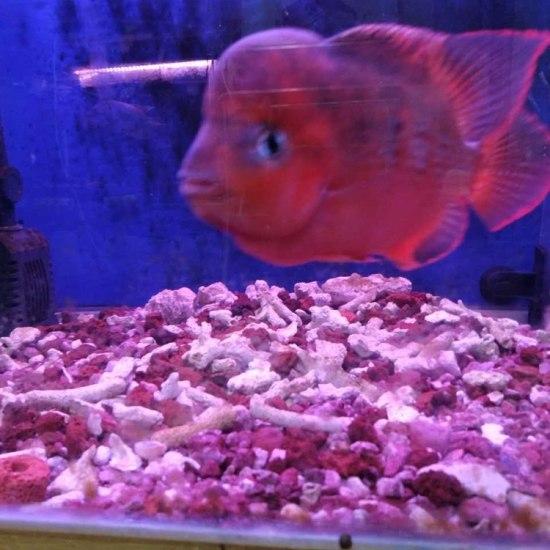 泰国红马苗2-3厘米,,后面为鱼友回馈图 成都龙鱼论坛 成都龙鱼第7张
