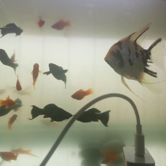 成都水族鱼缸有中意红箭鱼和黑马力的吗?我五块钱三条让了,自己养的,抗病力强 成都龙鱼论坛 成都龙鱼第1张