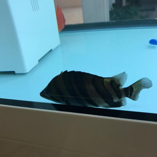 成都极鱼鱼缸小虎刚回来一动不动[baiyan] 成都龙鱼论坛 成都龙鱼第2张