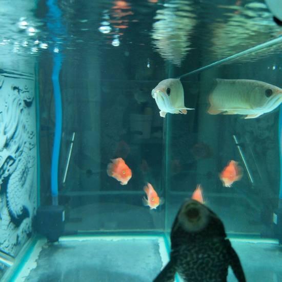 #龙鱼#鱼右眼比左眼凸出,不蒙眼,不掉眼,就凸出,状态可以,这是什么情况?买的时 成都龙鱼论坛 成都龙鱼第2张