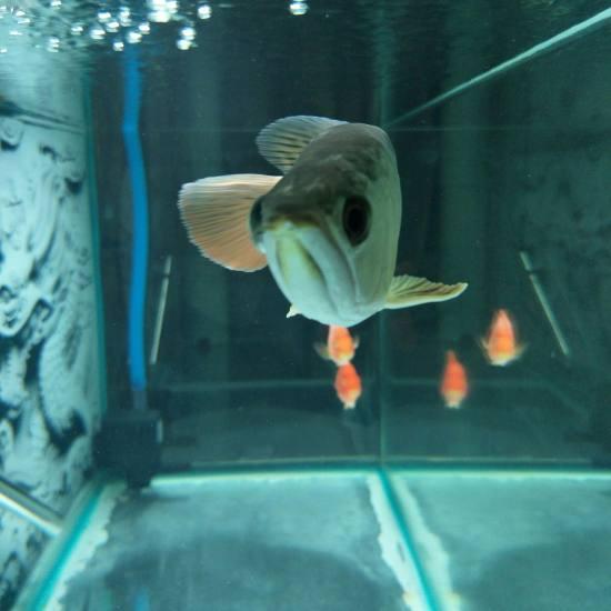 #龙鱼#鱼右眼比左眼凸出,不蒙眼,不掉眼,就凸出,状态可以,这是什么情况?买的时 成都龙鱼论坛 成都龙鱼第3张