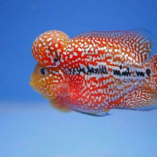 #爱罗汗鱼#这样的亮片和底色,超赞 成都龙鱼论坛 成都龙鱼第3张