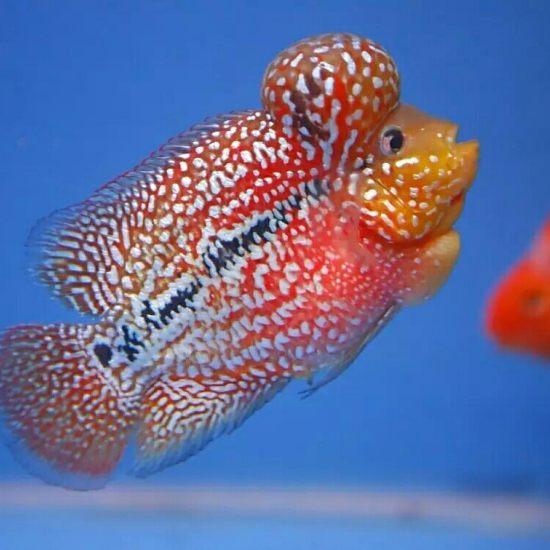 #爱罗汗鱼#这样的亮片和底色,超赞 成都龙鱼论坛 成都龙鱼第5张