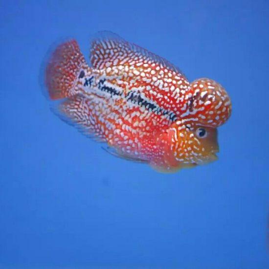 #爱罗汗鱼#这样的亮片和底色,超赞 成都龙鱼论坛 成都龙鱼第7张