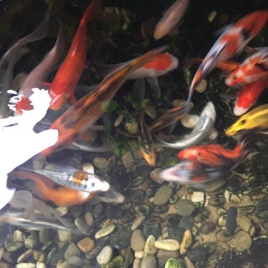 #锦鲤土炮金鱼大混养# 最近土炮也大了很多 成都龙鱼论坛 成都龙鱼第4张