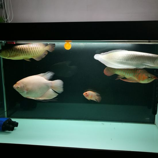 每周一次的换水,雷打不动。想要养好鱼先学会勤养水 成都龙鱼论坛 成都龙鱼第4张
