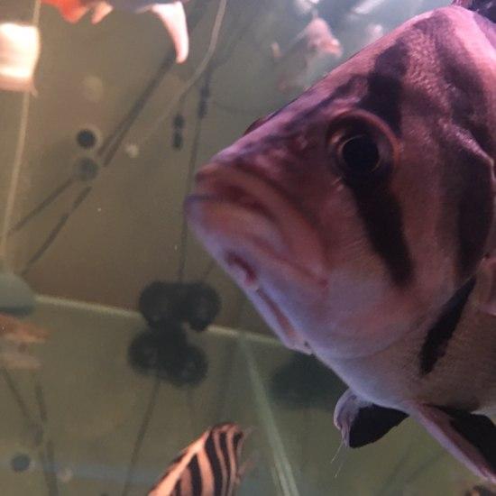 大虎受伤[pizui][pizui]南通观赏鱼缸订做