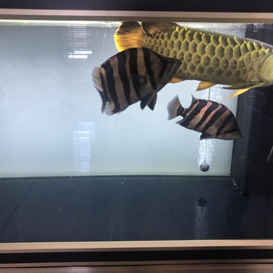 眼睛有点坏了 观赏鱼常见疾病 南通水族批发市场第5张