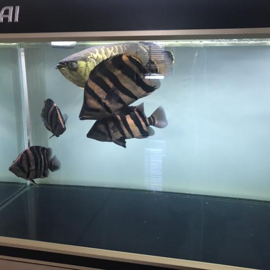 眼睛有点坏了 观赏鱼常见疾病 南通水族批发市场第6张