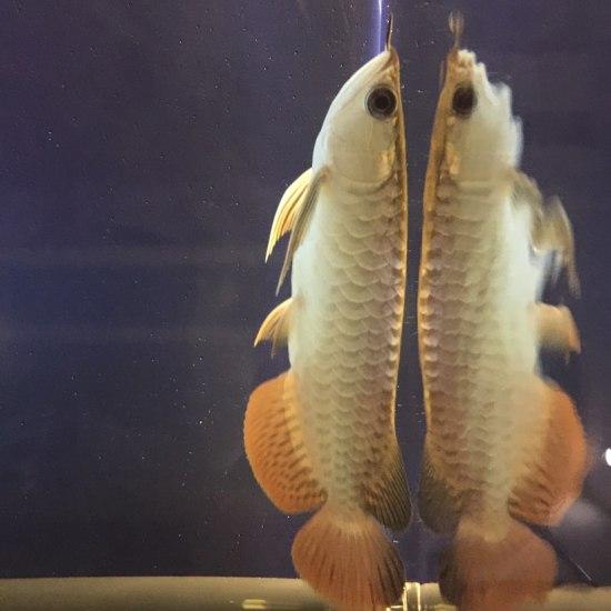 #小绵羊·大气量# 需求甚大 观赏鱼常见疾病