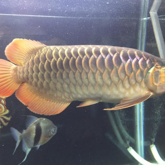 下班早 换个水[aini] 观赏鱼常见疾病 南通水族批发市场第4张
