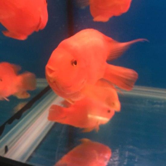 养了一年,继续大红 观赏鱼常见疾病 南通水族批发市场第2张