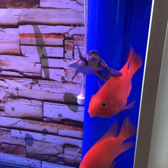 小银进家有半个月了,还是很胆小,喂食它都跑#银龙鱼# 观赏鱼常见疾病 南通水族批发市场第2张
