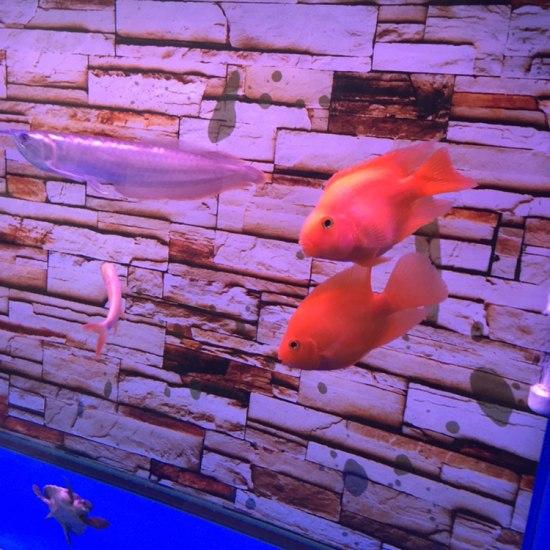 小银进家有半个月了,还是很胆小,喂食它都跑#银龙鱼# 观赏鱼常见疾病 南通水族批发市场第4张
