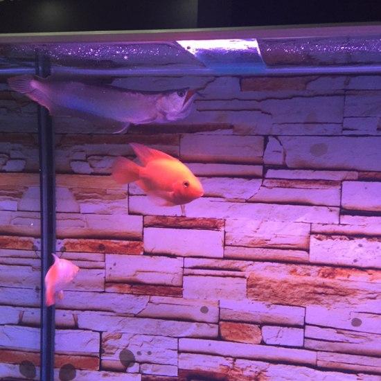 小银进家有半个月了,还是很胆小,喂食它都跑#银龙鱼# 观赏鱼常见疾病 南通水族批发市场第5张