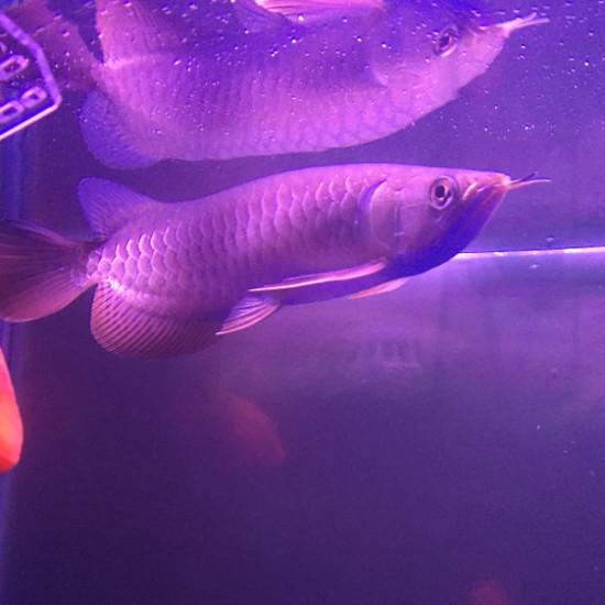 这算发色了吗钱怎么才能发色求指导 观赏鱼常见疾病 南通水族批发市场第1张