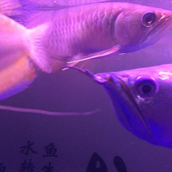 这算发色了吗钱怎么才能发色求指导 观赏鱼常见疾病 南通水族批发市场第2张