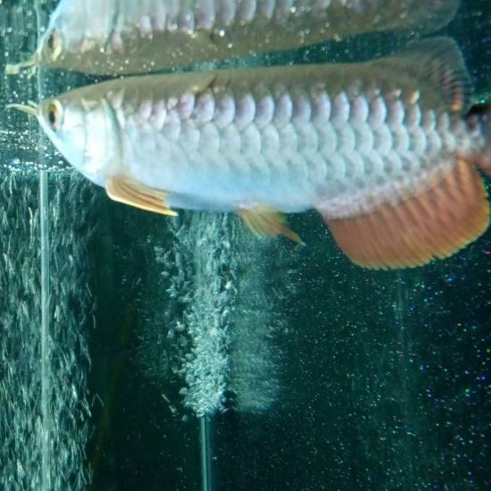 大家帮忙看一下小龙的鳞片怎么了,该怎么处理,万分感谢!!! 观赏鱼常见疾病 南通水族批发市场第2张