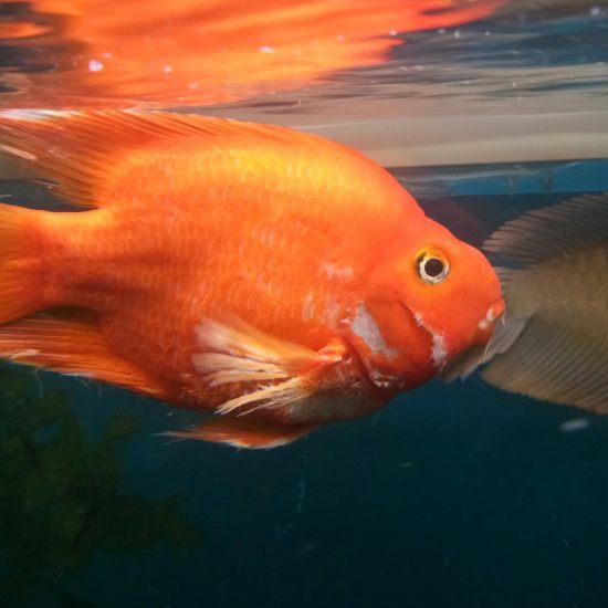 请教大侠,这是咋啦?[baiyan] 观赏鱼常见疾病 南通水族批发市场第1张