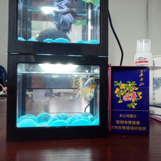 #绚烂灯火##斗鱼#我还有这两个小家伙[se] 观赏鱼常见疾病 南通水族批发市场第8张