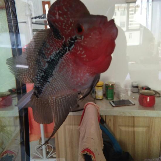 每天一鱼:罗汉 观赏鱼常见疾病