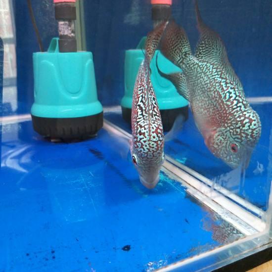 60.50.50缸 双层干湿分离 滤材是ac中空球和ac3d益菌屋。从当初5厘米 观赏鱼常见疾病 南通水族批发市场第8张