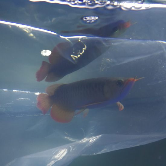 机场自提 小巴娄一尾 分享入缸过水 期待养出品质 观赏鱼常见疾病 南通水族批发市场第4张