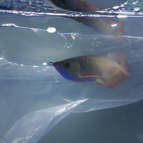 机场自提 小巴娄一尾 分享入缸过水 期待养出品质 观赏鱼常见疾病 南通水族批发市场第6张