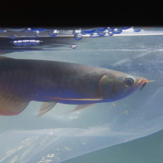 机场自提 小巴娄一尾 分享入缸过水 期待养出品质 观赏鱼常见疾病 南通水族批发市场第7张