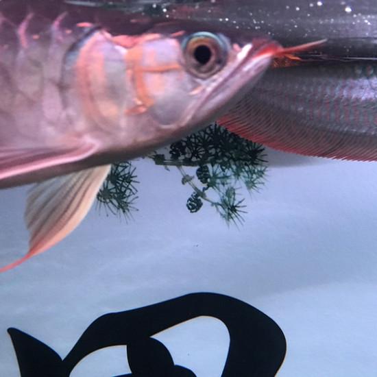 三月份饲养仟湖紫艳红龙已发色 观赏鱼常见疾病