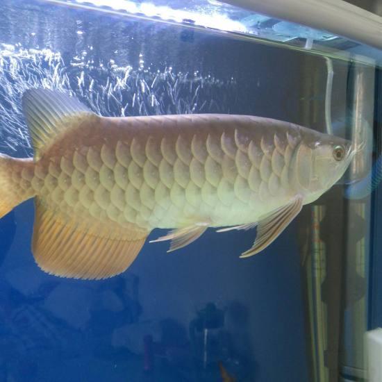 白灯跟红灯下的颜色! 观赏鱼常见疾病 南通水族批发市场第1张
