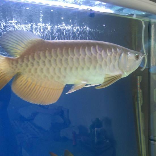 白灯跟红灯下的颜色! 观赏鱼常见疾病 南通水族批发市场第2张