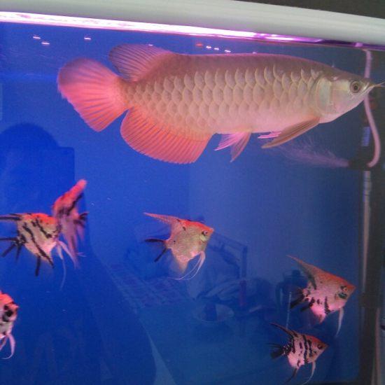 白灯跟红灯下的颜色! 观赏鱼常见疾病 南通水族批发市场第4张