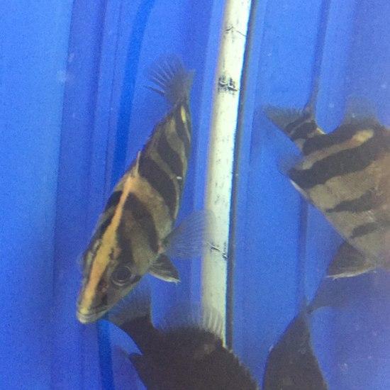 这虎鱼身上的白色透明是什么病啊?怎么办。。