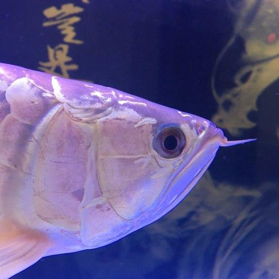 美不,值多少大洋。 观赏鱼常见疾病 南通水族批发市场第4张