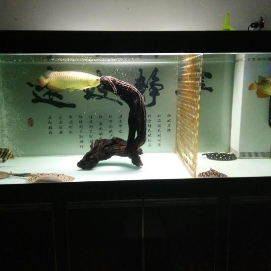 沉木入缸 观赏鱼常见疾病