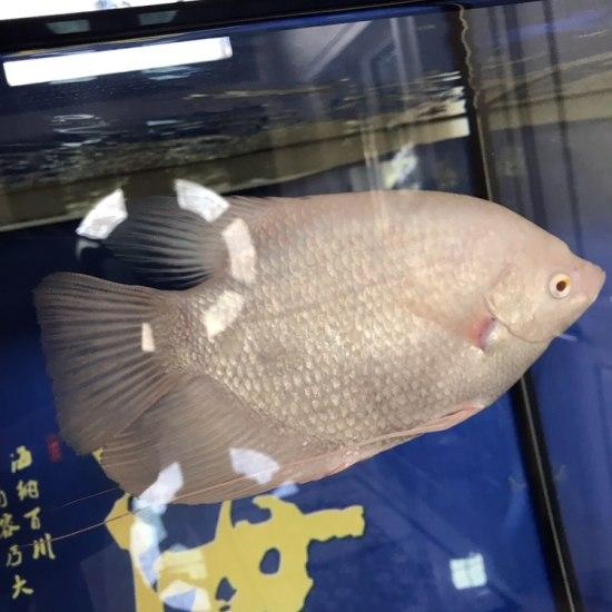 魚凶吗? 观赏鱼常见疾病