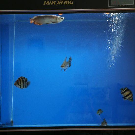 罗汉学乖了,跑到中层了,终于不用挨揍了[kafei][touxiao] 观赏鱼常见疾病 南通水族批发市场第1张