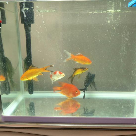 鹦鹉鱼买回家到现在有十天了,什么都不吃,颜色也变白了,也不知道怎么回事。 观赏鱼常见疾病 南通水族批发市场第1张