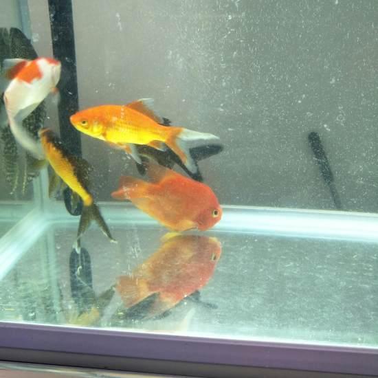 鹦鹉鱼买回家到现在有十天了,什么都不吃,颜色也变白了,也不知道怎么回事。 观赏鱼常见疾病 南通水族批发市场第3张