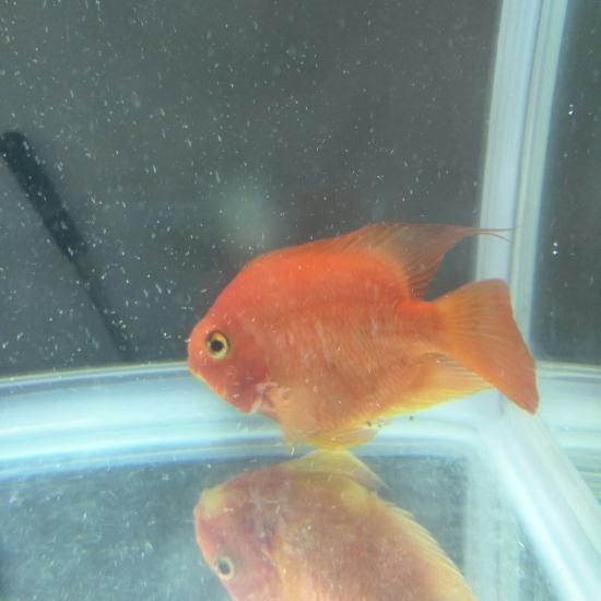 鹦鹉鱼买回家到现在有十天了,什么都不吃,颜色也变白了,也不知道怎么回事。 观赏鱼常见疾病 南通水族批发市场第7张
