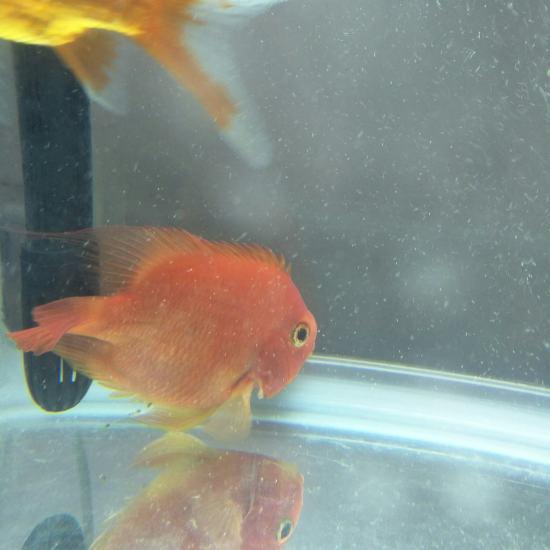 鹦鹉鱼买回家到现在有十天了,什么都不吃,颜色也变白了,也不知道怎么回事。 观赏鱼常见疾病 南通水族批发市场第8张